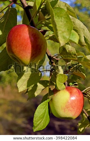 Beautiful color fresh apples on a branch of the tree in the orchard against the sky - stock photo