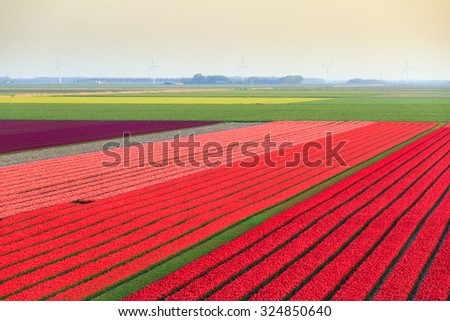 Beautiful colored tulip fields in the Netherlands in spring - stock photo