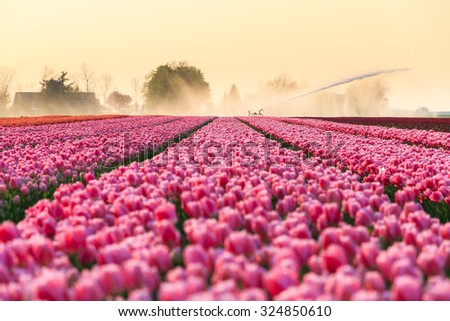 Beautiful colored tulip fields in the Netherlands in spring at sunset - stock photo