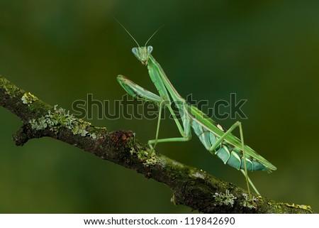 Beautiful colored Zebra Mantis - stock photo