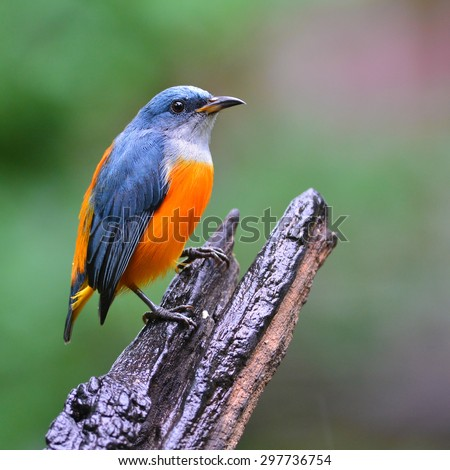Beautiful colorful bird (Orange-bellied Flowerpecker) sitting on a log. - stock photo