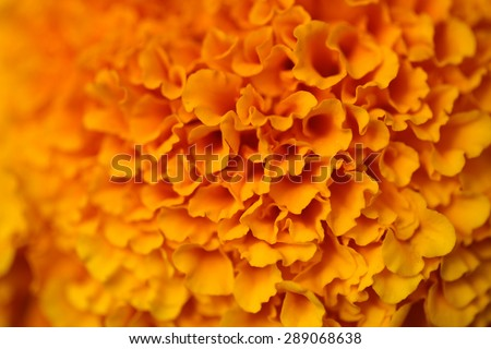 Beautiful colorful bright lush orange flower with many petals closeup, horizontal picture - stock photo