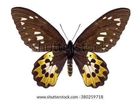 Beautiful colorful butterfly with brown and yellow wings isolated on white. Ornithoptera, Goliath Samson or Arfakensis - stock photo