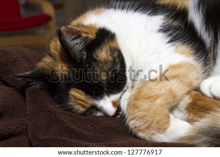 Beautiful, colorful calico cat sleeping