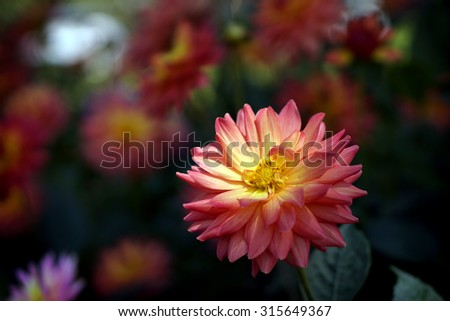 Beautiful colorful chrysanthemum flower in garden, Chiang Mai, Thailand.