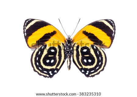 Beautiful colorful dotted butterfly with black and yellow wings isolated on white. Callicore cynosura. - stock photo