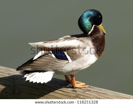Beautiful colorful duck - stock photo