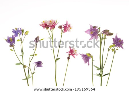 beautiful colorful flowers Aquilegia catchment with green leaves on a white background