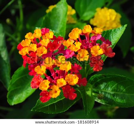 Beautiful Colorful Hedge Flower, Weeping Lantana, Lantana camara Linn. - stock photo