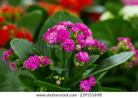 beautiful colorful Kalanchoe in a greenhouse - stock photo