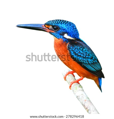 Beautiful Colorful Kingfisher bird, male Blue-eared Kingfisher (Alcedo meninting), standing on a branch, on white background - stock photo