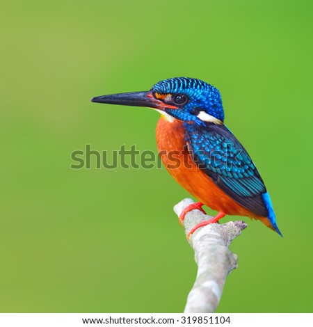 Beautiful Colorful Kingfisher bird, male Blue-eared Kingfisher (Alcedo meninting), standing on a branch - stock photo