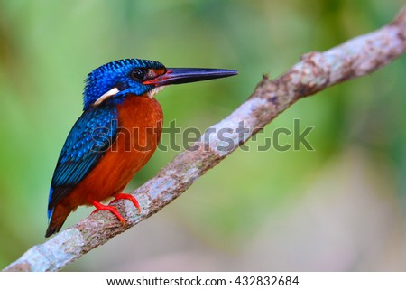 Beautiful Colorful Kingfisher bird, male Blue-eared Kingfisher (Alcedo meninting), standing on a branch on Khao Yai National Park, Thailand