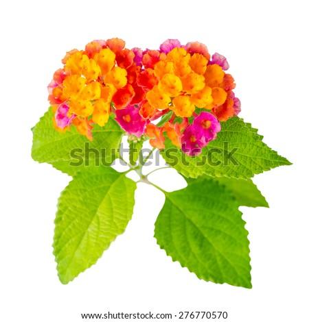 beautiful colorful Lantana camara flower is isolated on white background, closeup - stock photo