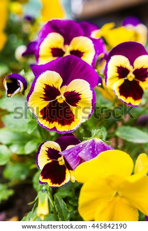 beautiful colorful Pansy in the garden