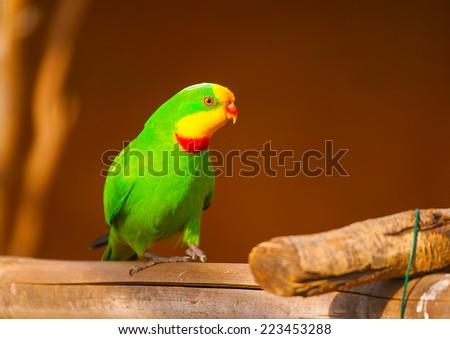 beautiful colorful parrot (agapornis) or (love bird) sitting on his branch