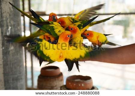 Beautiful colorful parrot, Sun Conure (Aratinga solstitialis) - stock photo