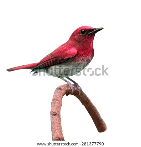 Beautiful colorful red bird perching on a branch on white background