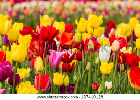 beautiful colorful tulips in a farm in Oregon shot on a beautiful early spring day - stock photo