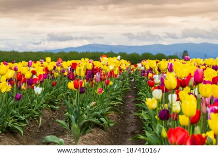beautiful colorful tulips in a farm in Oregon shot on a beautiful early spring day