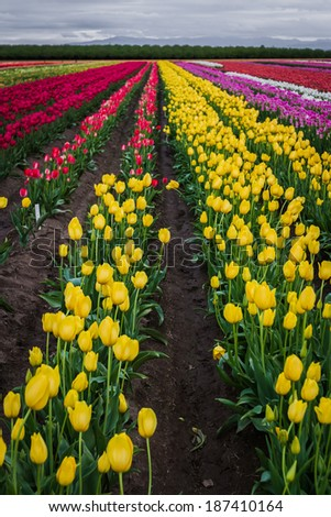beautiful colorful tulips in a farm in Oregon shot on a beautiful spring day - stock photo