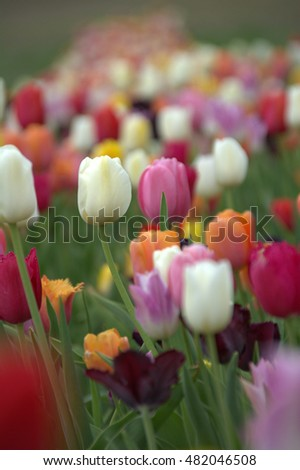 beautiful colorful tulips in a flower garden