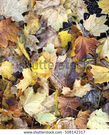 Beautiful colorful vibrant fall leaves on wooded ground