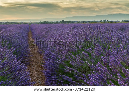 Beautiful colors of lavender field in Provence, Valensole in France