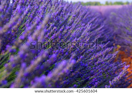 Beautiful colors purple lavender fields near Valensole, Provence in France,Europe - stock photo