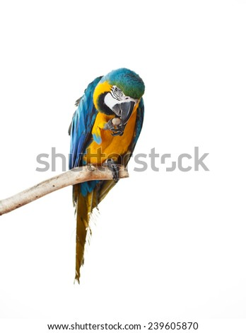 Beautiful colourful parrot sitting on the perch. Blue, white and yellow Macaw, Ara Ararauna, beautiful bird. White background. Close-up of pretty lorikeet.