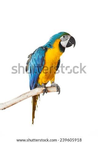 Beautiful colourful parrot sitting on the perch. Blue, white and yellow Macaw, Ara Ararauna, beautiful bird. White background. Close-up of pretty lorikeet. - stock photo