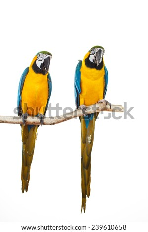 Beautiful colourful parrots sitting on the perch. Blue, white and yellow Macaws. Ara Ararauna. Beautiful birds. White background. Close-up of pretty lorikeet.
