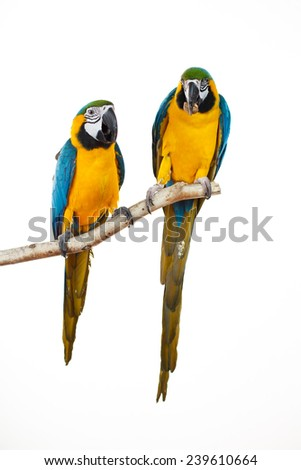 Beautiful colourful parrots sitting on the perch. Blue, white and yellow Macaws. Ara Ararauna. Beautiful birds. White background. Close-up of pretty lorikeet. - stock photo