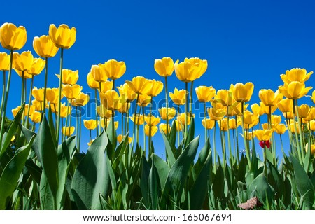 Beautiful colourful tulip flowers background in spring - stock photo