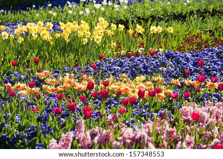 Beautiful colourful Tulips in full bloom in springtime