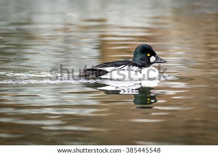 Beautiful Common Goldeneye in pond at a Post Falls, Idaho park.