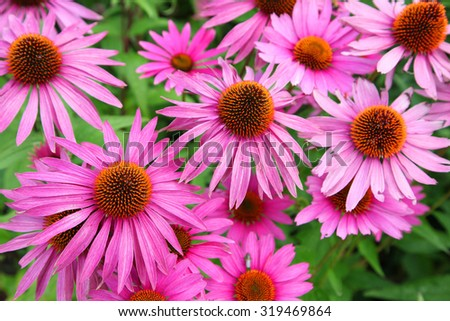 Beautiful Cone flowers, Echinacea in garden