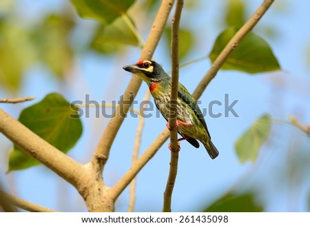 beautiful coppersmith barbet (Megalaima haemacephala) possing on the branch