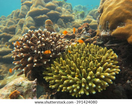 Beautiful coral at Maiton Island Thailand .Bush coral.Bush coral.