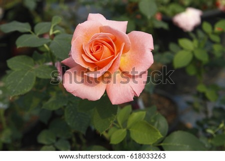 Coral Garden Rose coral garden stock images, royalty-free images & vectors