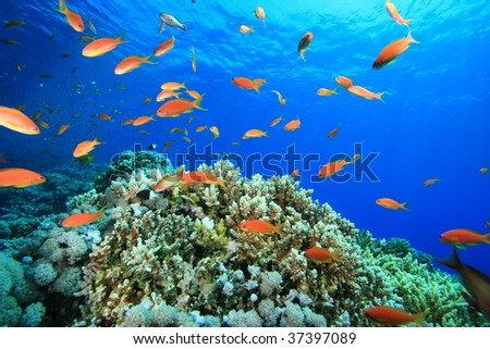 Beautiful Coral Reef and Lyretail Anthias