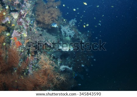 Beautiful coral reef grows on ship wreck.