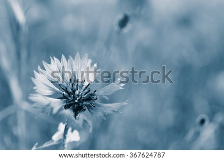 Beautiful cornflower, outdoors