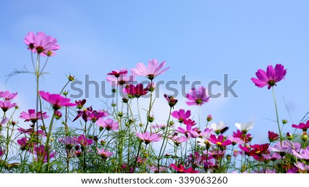 beautiful cosmos flower blooming - stock photo