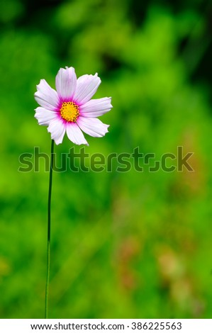 Beautiful Cosmos Flower blooming at the meadow