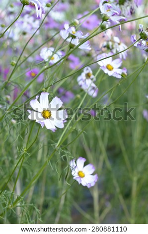 Beautiful cosmos flower in the garden - stock photo