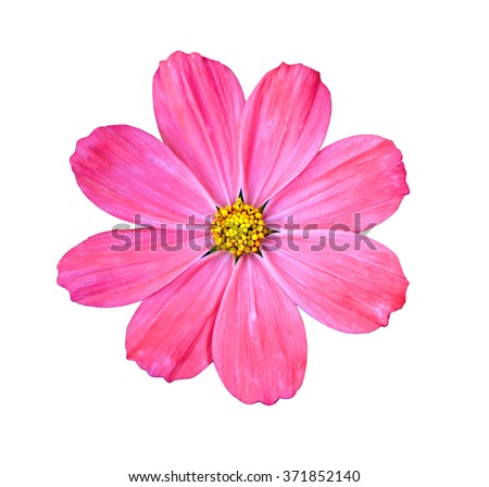 Beautiful Cosmos Flower isolated - stock photo