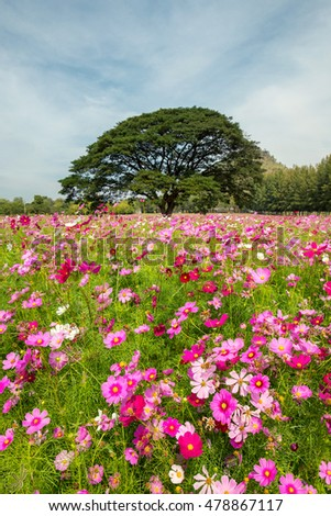 beautiful cosmos flowers field at Jim Thompson farm at Nakornratchasrima