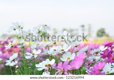 beautiful cosmos flowers in the garden - stock photo