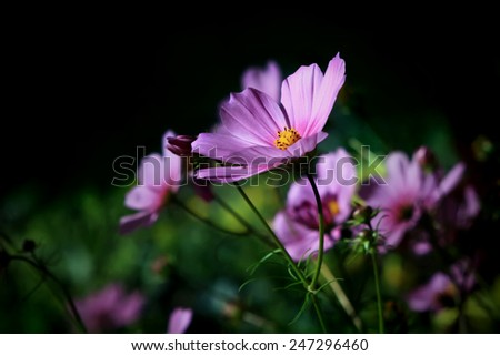 beautiful cosmos flowers in the garden on dark background - stock photo